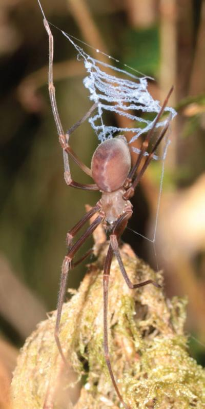 This is an image of an immature male of P. otwayensis holding the catching ladder.