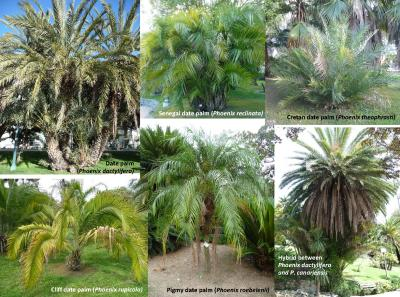 This image shows Phoenix species and hybrids in the public gardens of the Municipality of Sanremo, Italy. Date palm P. dactylifera; Senegal date palm P. reclinata; Cretan date palm P. theophrasti; Cliff date palm P. rupicola; Pigmy date palm P. roebelenii; Hybrid between date palm (P. dactylifera) and Canary Islands date palm (P. canariensis).