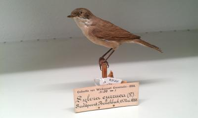 This is a Western Lesser Whitethroat from the Naturalis Biodiversity Center museum collections.