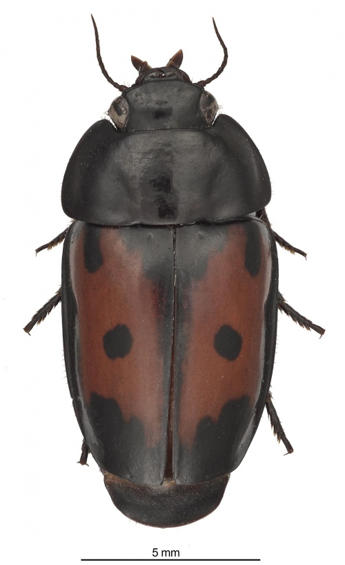 This image shows the beautiful body pattern of the new species G. spectabilis Erwin.