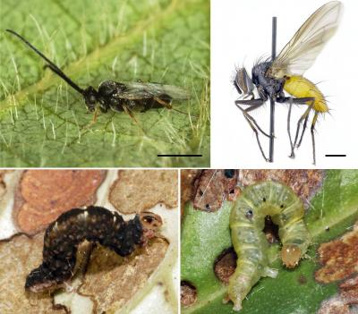 "These are some of the insects that depend on the newly described species of wild black pepper, Piper kelleyi, including two of the herbivorous caterpillar species known by team members as ""rare brownie"" (lower left) and ""pink spots funky"" (lower right), along with examples of their wasp (upper left) and fly (upper right) predators. Both caterpillars are ca. 1 cm long, the wasp is ca. 2.5 mm, and the fly is ca. 0.8 mm."