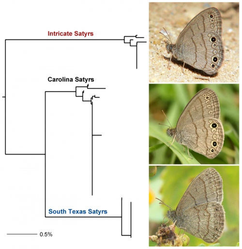 This is an evolutionary tree constructed from DNA sequences shows three distinct clusters corresponding to three Satyr species. Carolina Satyr and South Texas Satyr are closer related and Intricate Satyr is more distant from either of them. Butterflies are shown on the right.