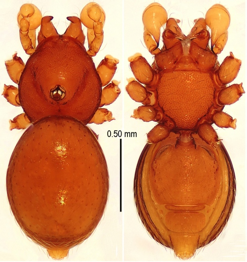 This image shows the male holotype of Sinamma oxycera, one of the newly described species.