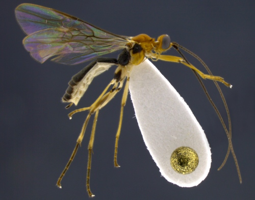 This is a side view of the Shakira wasp, Aleiodes shakirae. The golden dot on the lower right is the head of a pin.