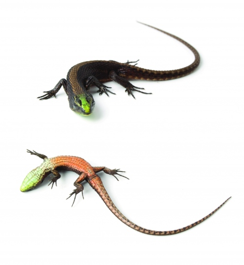 This is a live male of the new species of shade lizard, Alopoglossus viridiceps. Its body length is about 2 inches.