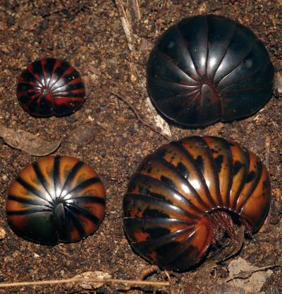 Upper left to Lower right: This image shows different color morphs, genetically found to be identical, of the chirping giant pill-millipede (Sphaeromimus musicus), and a similar-looking species (lower left) of a different genus (Zoosphaerium blandum).