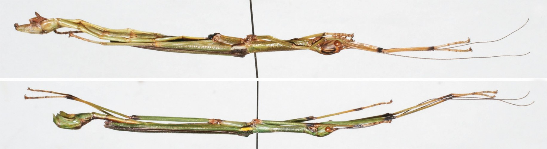 This image shows a male (top) and a female (bottom) representative of the new stick insect species Sinophasma damingshanensis.
