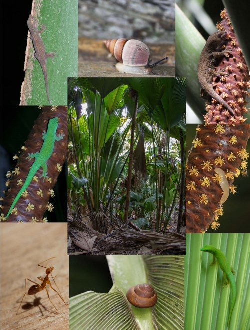 Yellow crazy ants (Anoplolepis gracilipes; bottom left) have invaded parts of the endemic coco de mer (Lodoicea maldivica) palm forest on the island of Praslin, Seychelles. Arboreal molluscs (Vaginula seychellensis, Stylodonta studeriana and Pachnodus pralines) and geckos (Phelsuma astriata, P. sundbergi, Ailuronyx tachyscopaeus, A. trachygaster) are absent or reduced in numbers in areas where ants are present, suggesting displacement of arboreal endemics by the invasive ants.