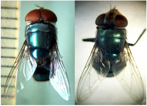 This image depicts the male and female adult of Chrysomya megacephala.