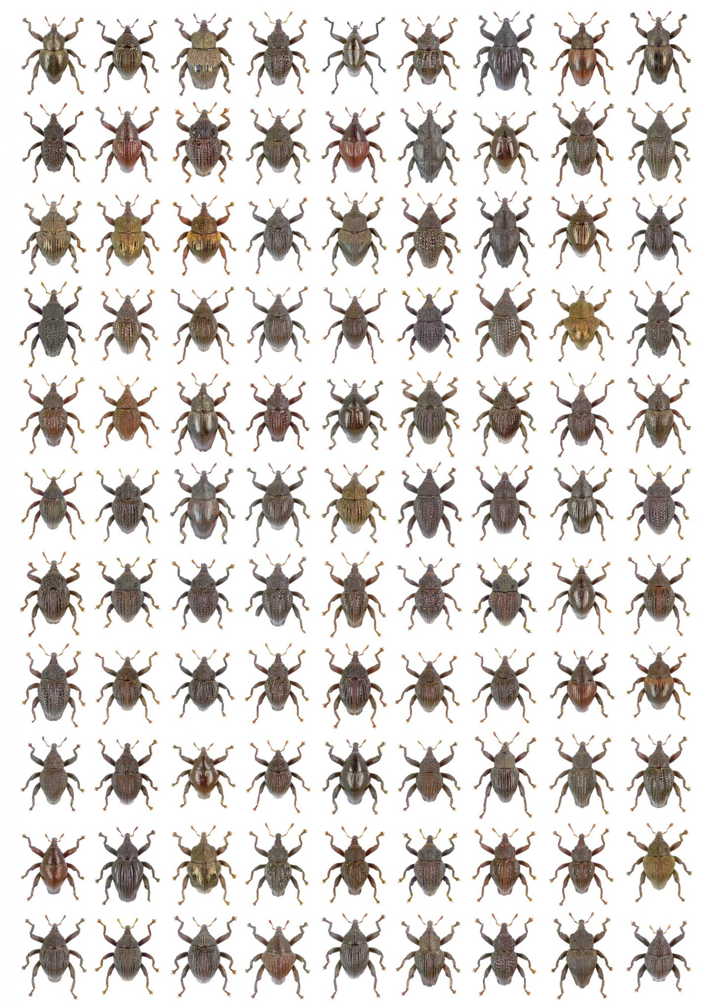 These are the 98 new species of Trigonopterus plus T. amphoralis (row 1, 7th from left), a species lost since 1922.