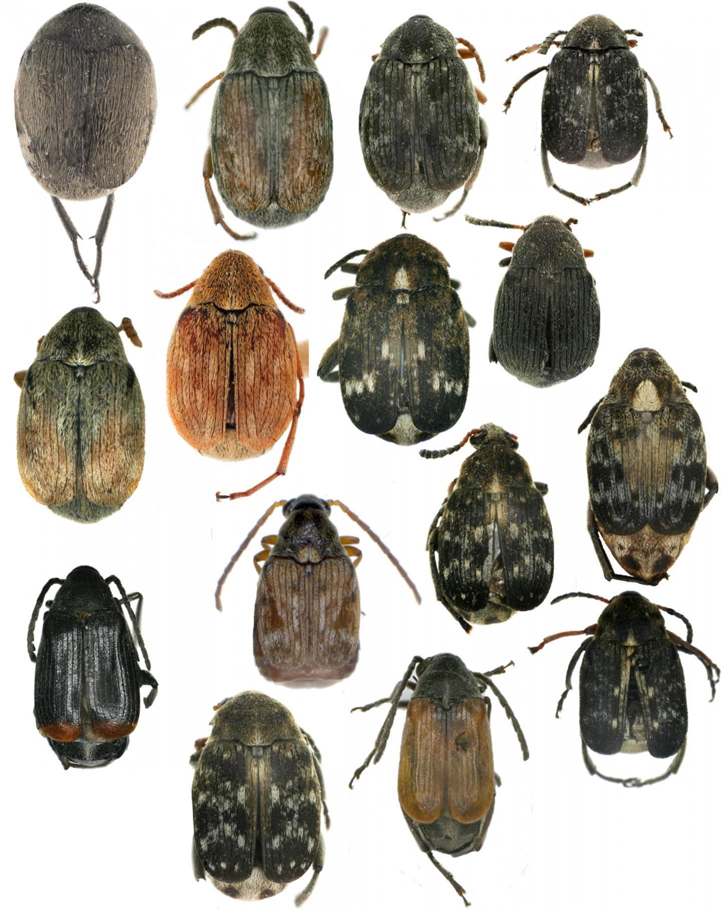 This image shows some of the seed beetles found in Xinjiang, China.