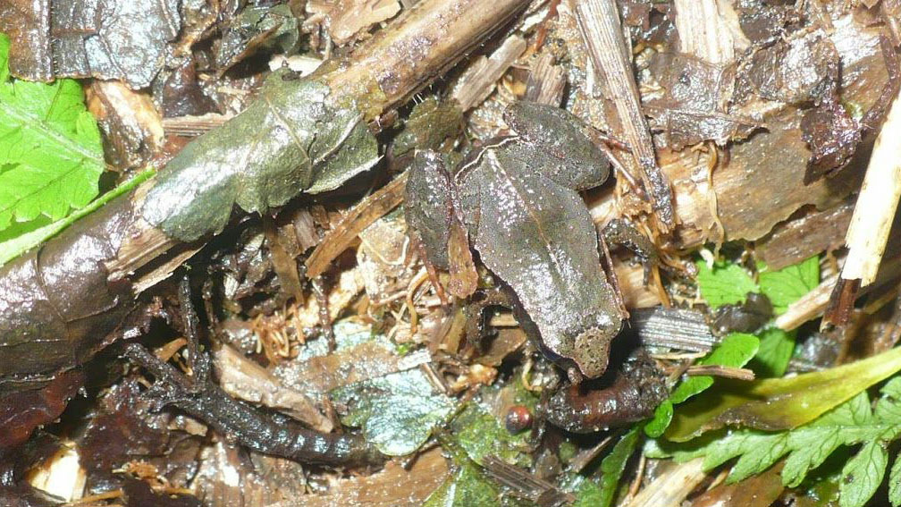 3 Andes frog