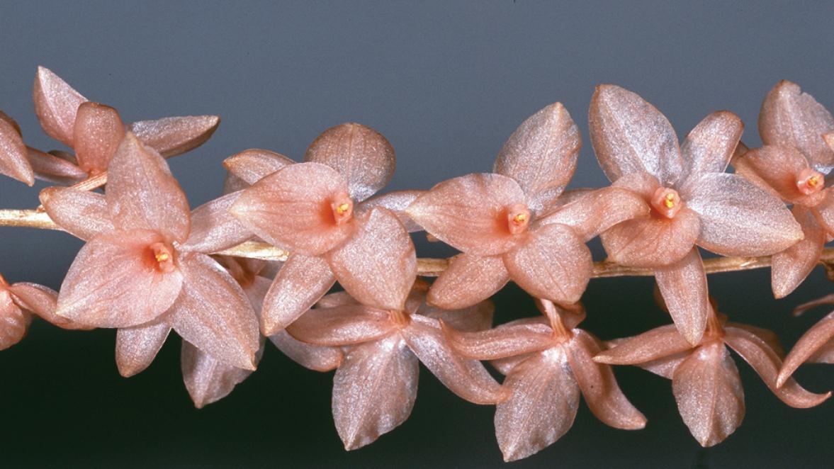 Dendrochilum hampelii