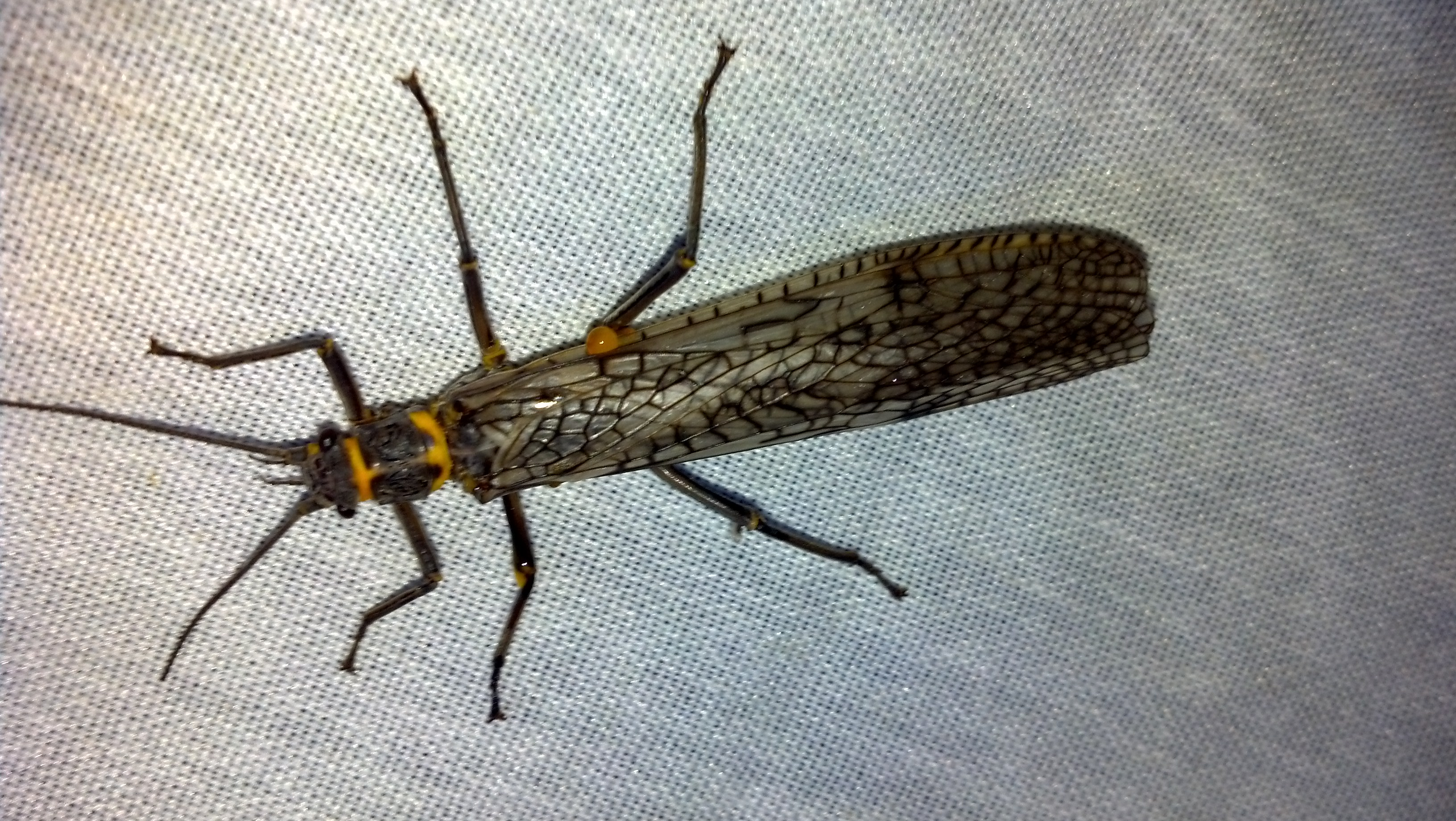 Image 2 Adult stonefly
