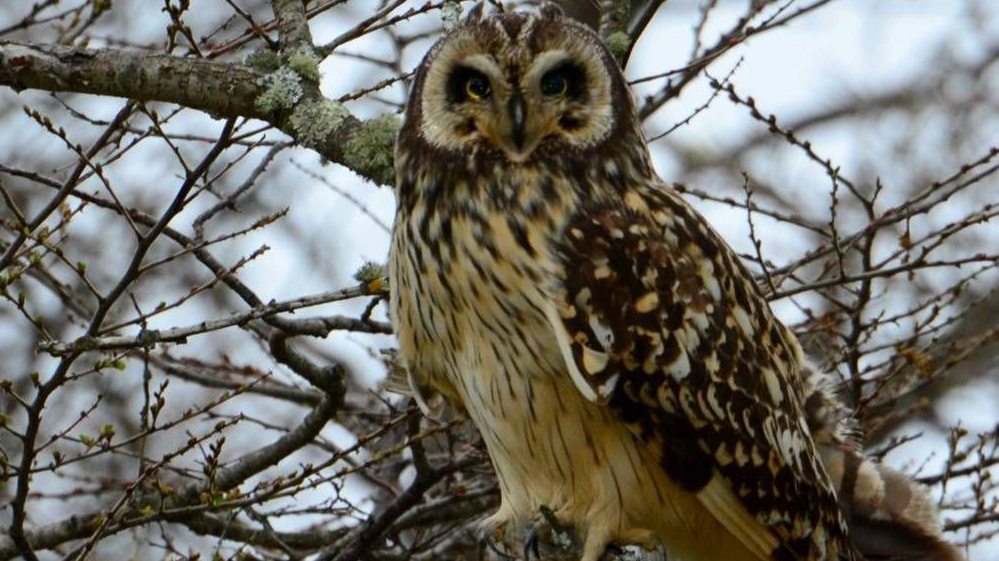 Short-eared owl-blog