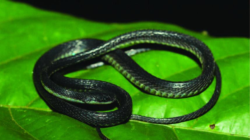 6533_Image 1 S. insulomontanus sp. n.