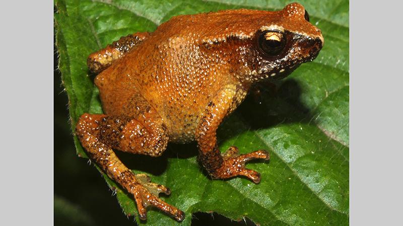 6522_New toad genus India img3