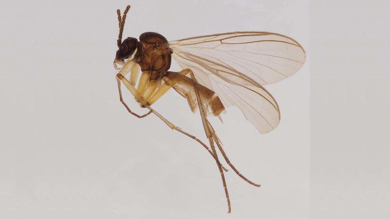 7218-fungus gnats-Boletina valteri_habitus