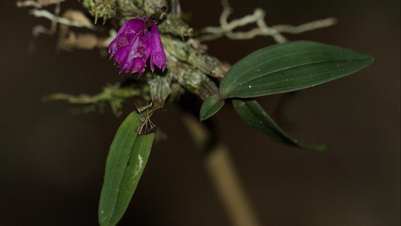 28102014-Dendrobium centrosepalum_IMG 1