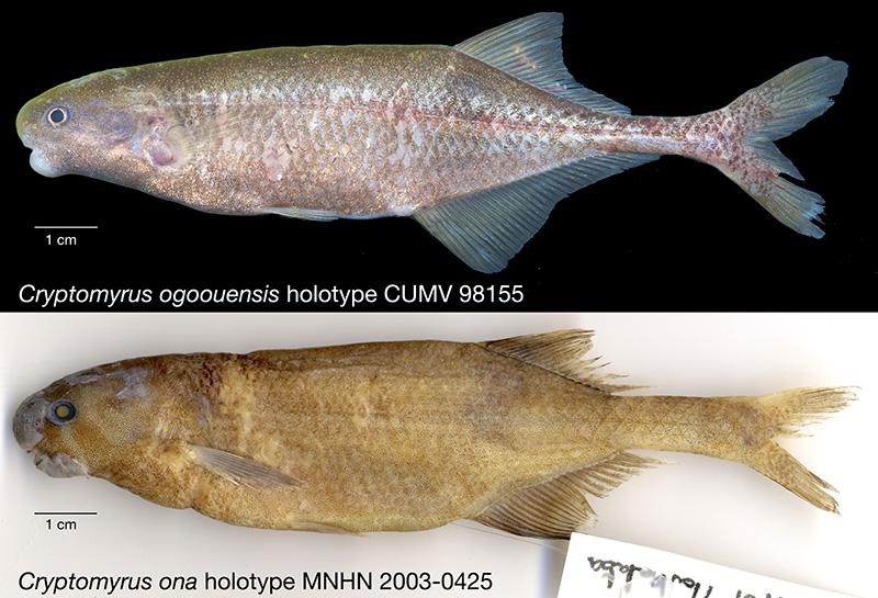 Cryptomyrus holotype composite