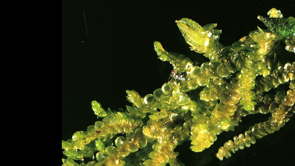 Frullania_Photo_John_Braggins