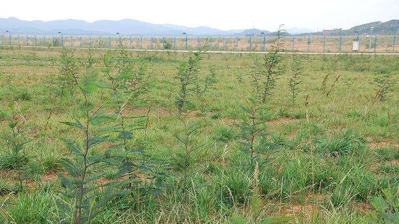 Black wattle trees img 1 blog