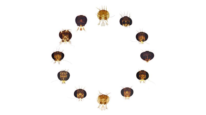 Img 1   12 phorid heads circle white