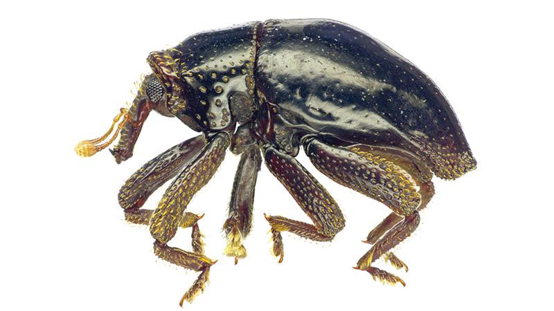T. chewbacca