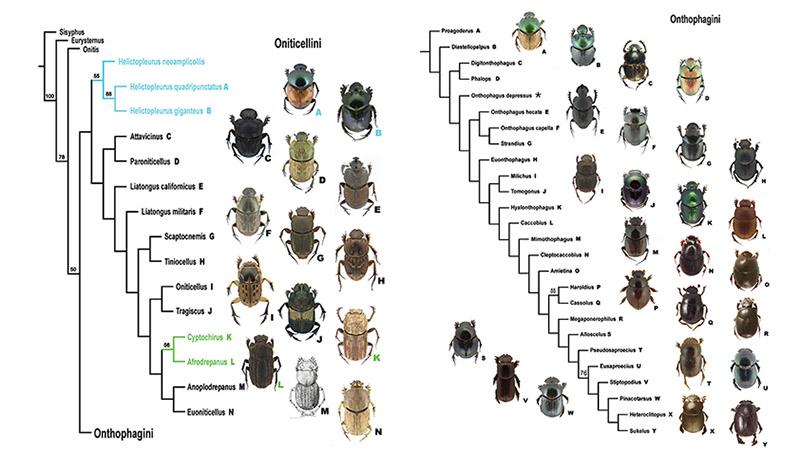 blog dung beetles