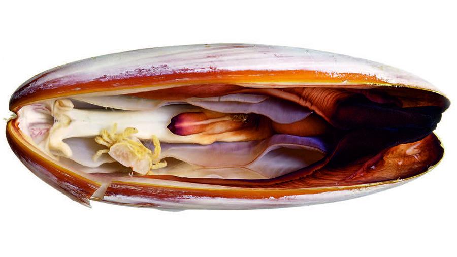 10272_pea-crab