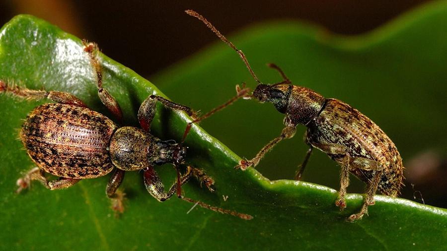 weevils PR 1 blog