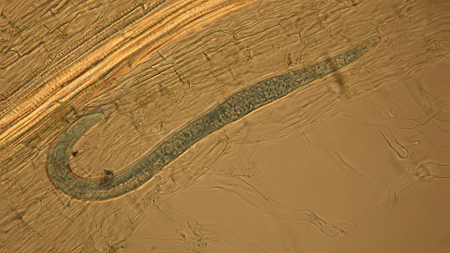 BLOG_Neobiota_ Female lesion nematode with egg WC 13mth