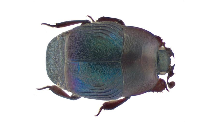 Iridoprinus myrmecophilus blog