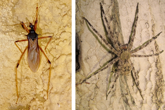 Adult specimens of Zelurus diasi (left) and Enoploctenus cyclotorax (right) observed in the study area.