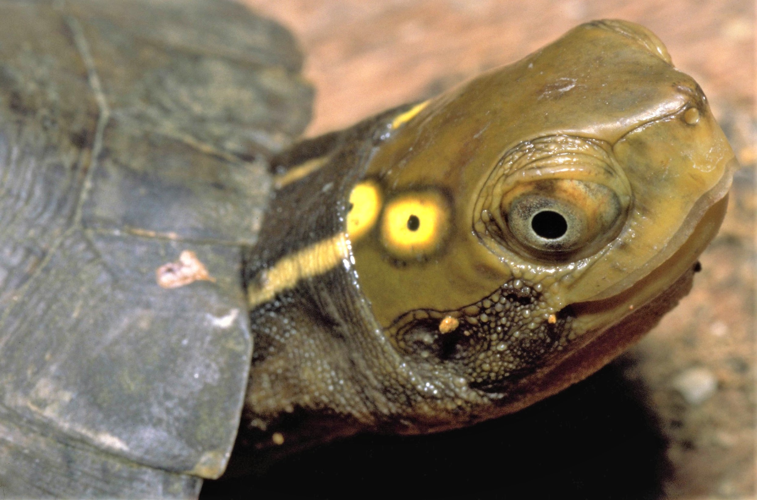 Four-eyed turtle specimen Credit: Thomas Ziegler Lilcense: CC-BY 4.0